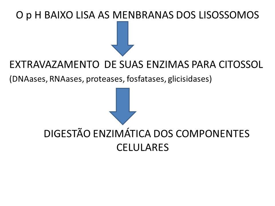 O p H BAIXO LISA AS MENBRANAS DOS LISOSSOMOS EXTRAVAZAMENTO DE SUAS ENZIMAS PARA CITOSSOL (DNAases, RNAases, proteases, fosfatases, glicisidases) DIGE