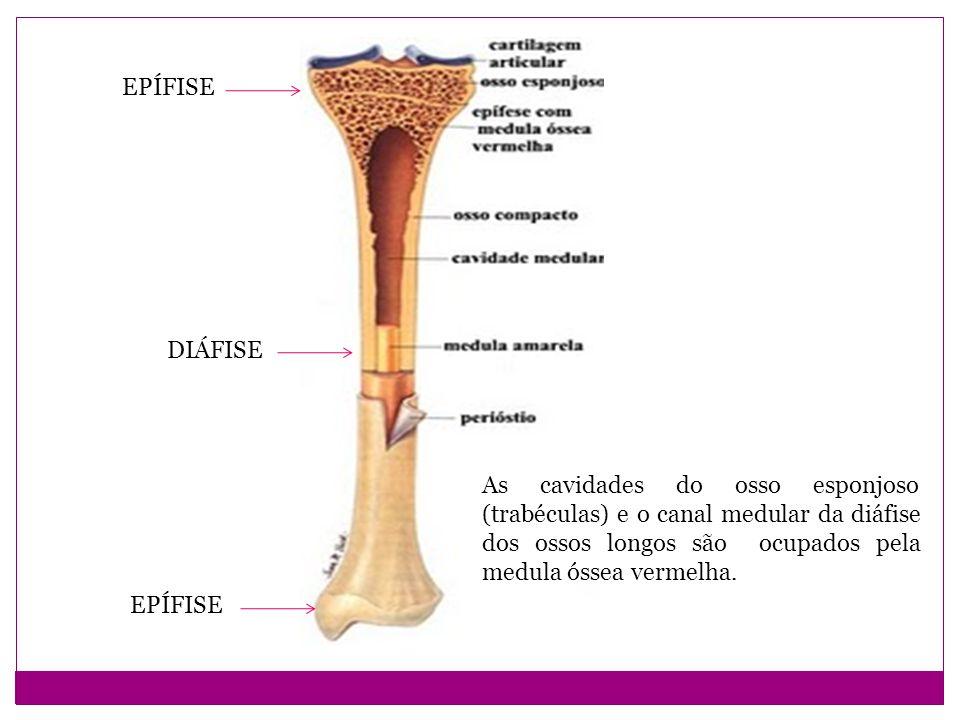 EPÍFISE DIÁFISE EPÍFISE As cavidades do osso esponjoso (trabéculas) e o canal medular da diáfise dos ossos longos são ocupados pela medula óssea vermelha.