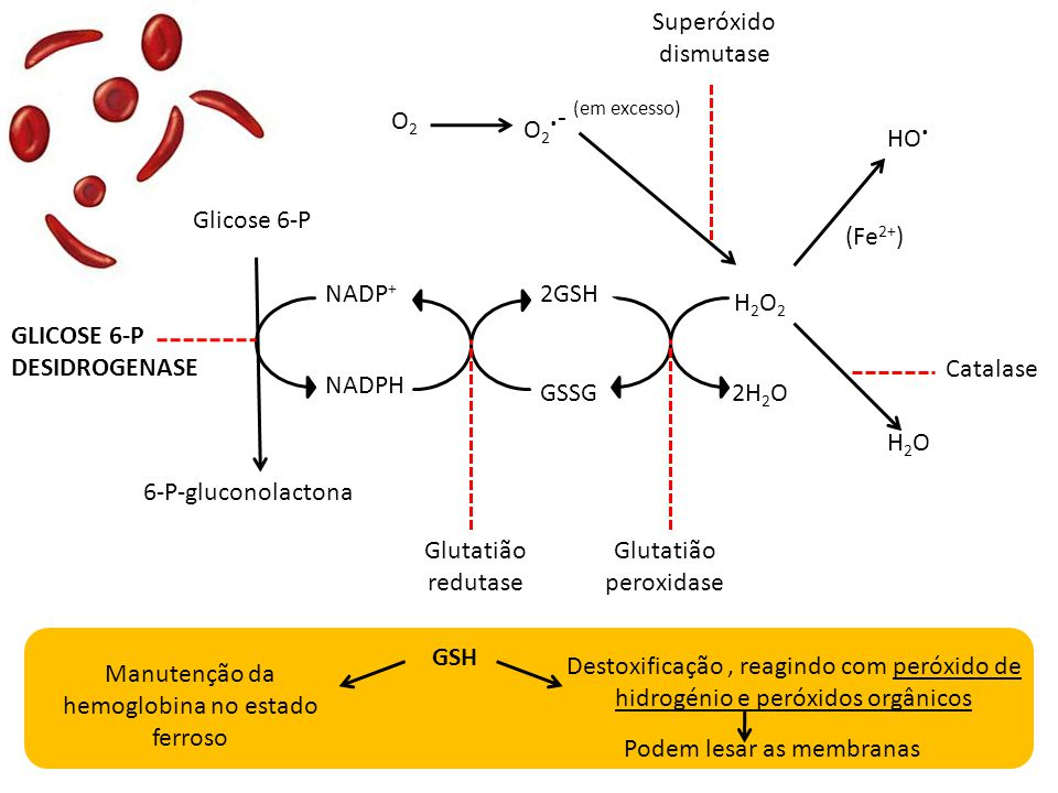 Glicose 6-P 6-P-gluconolactona NADPH NADP + H2O2H2O2 2GSH GSSG2H 2 O H2OH2O GLICOSE 6-P DESIDROGENASE Glutatião redutase Glutatião peroxidase NADPH, n