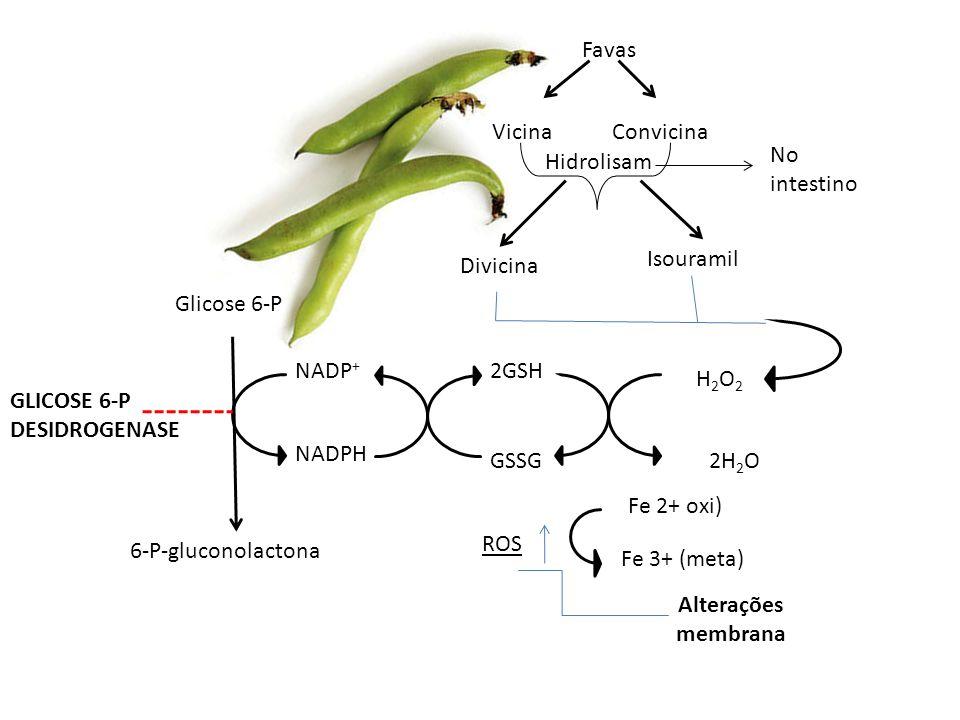 Glicose 6-P 6-P-gluconolactona NADPH NADP + H2O2H2O2 2GSH GSSG GLICOSE 6-P DESIDROGENASE 2H 2 O ROS Fe 2+ oxi) Fe 3+ (meta) Alterações membrana Favas