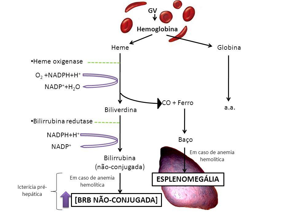 GV HemeGlobina Hemoglobina CO + Ferro a.a. Baço ESPLENOMEGÁLIA Em caso de anemia hemolítica Heme oxigenase Biliverdina Bilirrubina (não-conjugada) NAD