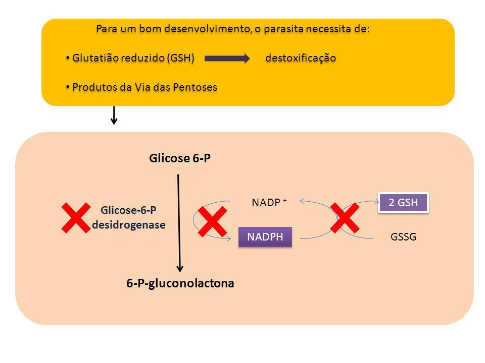 Glicose 6-P 6-P-gluconolactona NADP + NADPH GSSG 2 GSH Para um bom desenvolvimento, o parasita necessita de: Glutatião reduzido (GSH) destoxificação P