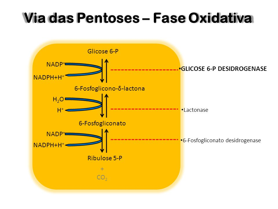 Via das Pentoses – Fase Oxidativa Glicose 6-P NADP + NADPH+H + 6-Fosfoglicono-δ-lactona 6-Fosfogliconato Ribulose 5-P GLICOSE 6-P DESIDROGENASE Lacton