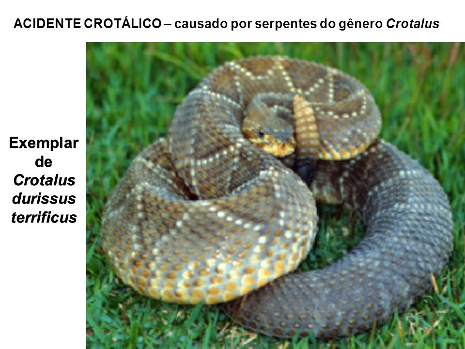 Exemplar de Crotalus durissus terrificus ACIDENTE CROTÁLICO – causado por serpentes do gênero Crotalus