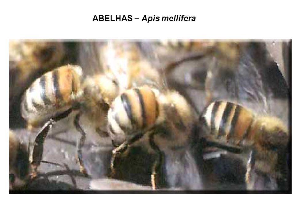ABELHAS – Apis mellifera