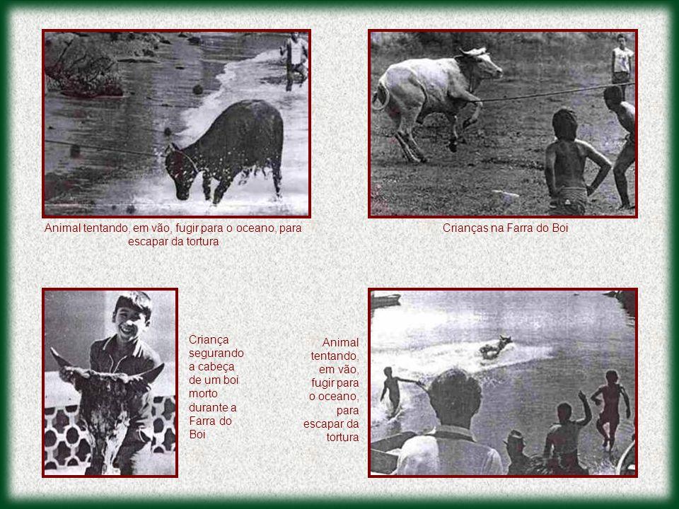 Crianças na Farra do BoiAnimal tentando, em vão, fugir para o oceano, para escapar da tortura Criança segurando a cabeça de um boi morto durante a Far