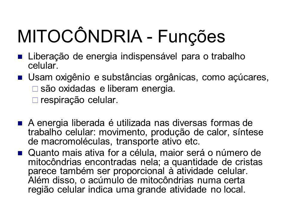 MITOCÔNDRIA - Funções Liberação de energia indispensável para o trabalho celular. Usam oxigênio e substâncias orgânicas, como açúcares,  são oxidadas