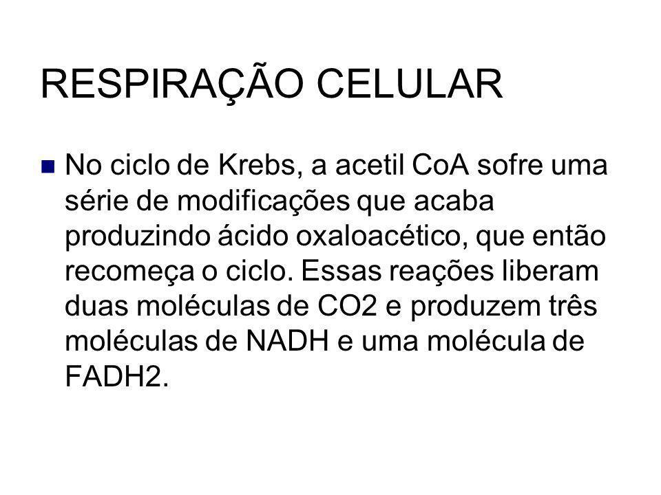 RESPIRAÇÃO CELULAR No ciclo de Krebs, a acetil CoA sofre uma série de modificações que acaba produzindo ácido oxaloacético, que então recomeça o ciclo