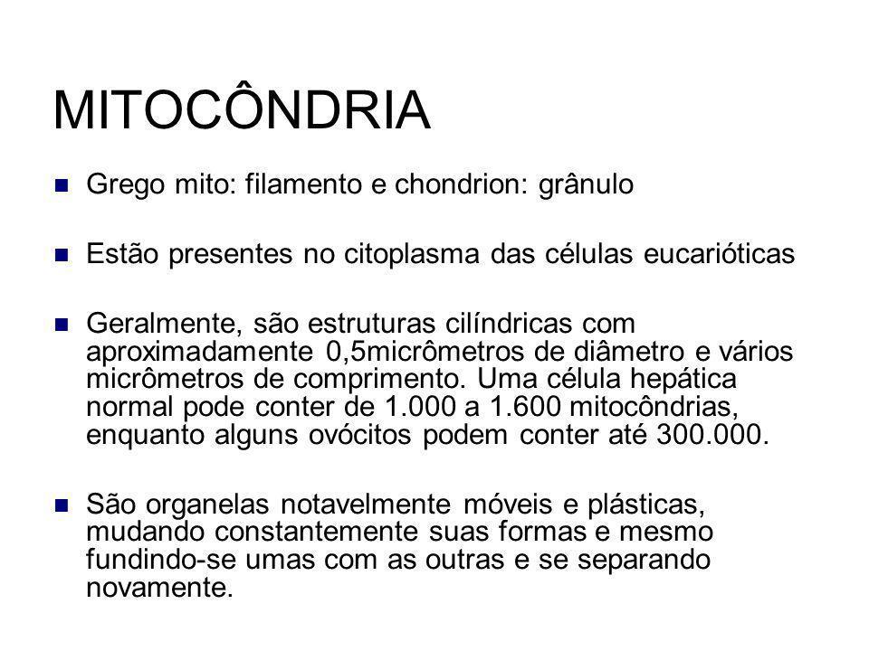 MITOCÔNDRIA Grego mito: filamento e chondrion: grânulo Estão presentes no citoplasma das células eucarióticas Geralmente, são estruturas cilíndricas c