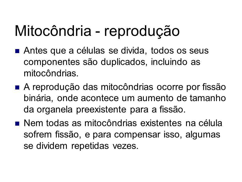 Mitocôndria - reprodução