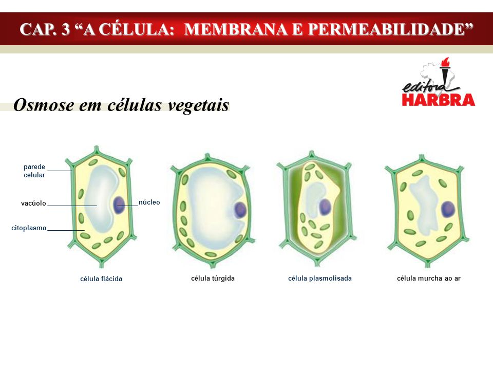 """Osmose em células vegetais CAP. 3 """"A CÉLULA: MEMBRANA E PERMEABILIDADE"""" parede celular vacúolo citoplasma núcleo célula flácida célula plasmolisada cé"""