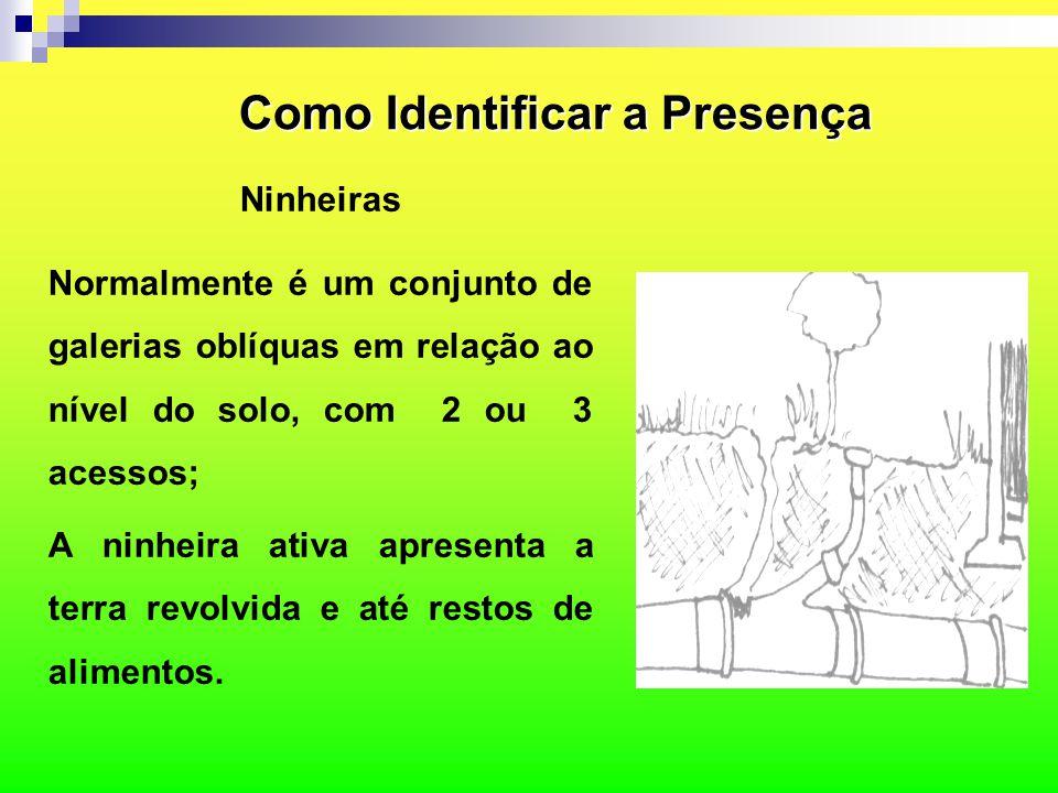 Como Identificar a Presença Ninheiras Normalmente é um conjunto de galerias oblíquas em relação ao nível do solo, com 2 ou 3 acessos; A ninheira ativa