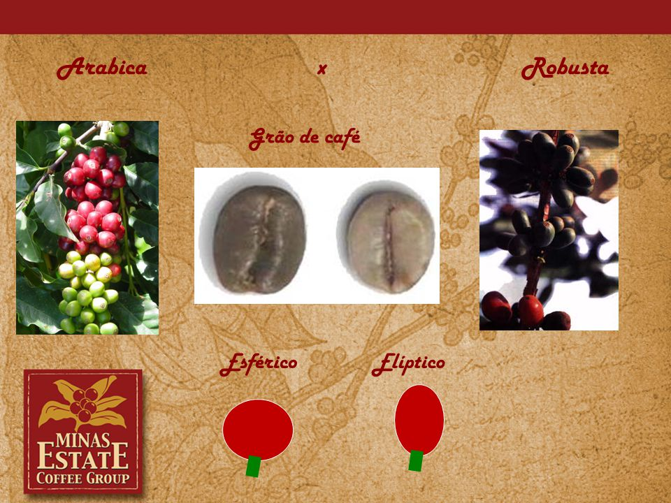 O fruto de café arábica