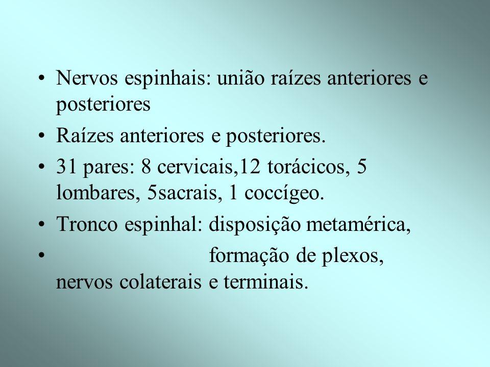 RAÍZES, PLEXOS E NERVOS Nervos: emergem do neuro-eixo função: condução de impulsos nervosos: eferentes (centro p/ periferia), aferentes (periferia p/
