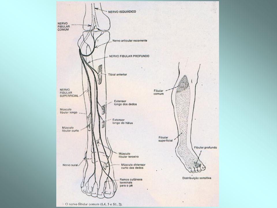 -N.Fibular Comum / Peroneiro (L4-L5 e S1-S2)= (ciático- poplíteo-externo)= lesado com facilidade (ex: cruzar as pernas)= paralisia de flexão dorsal e