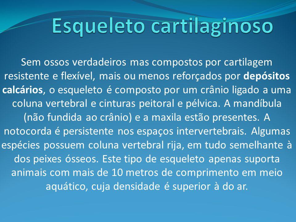 Sem ossos verdadeiros mas compostos por cartilagem resistente e flexível, mais ou menos reforçados por depósitos calcários, o esqueleto é composto por