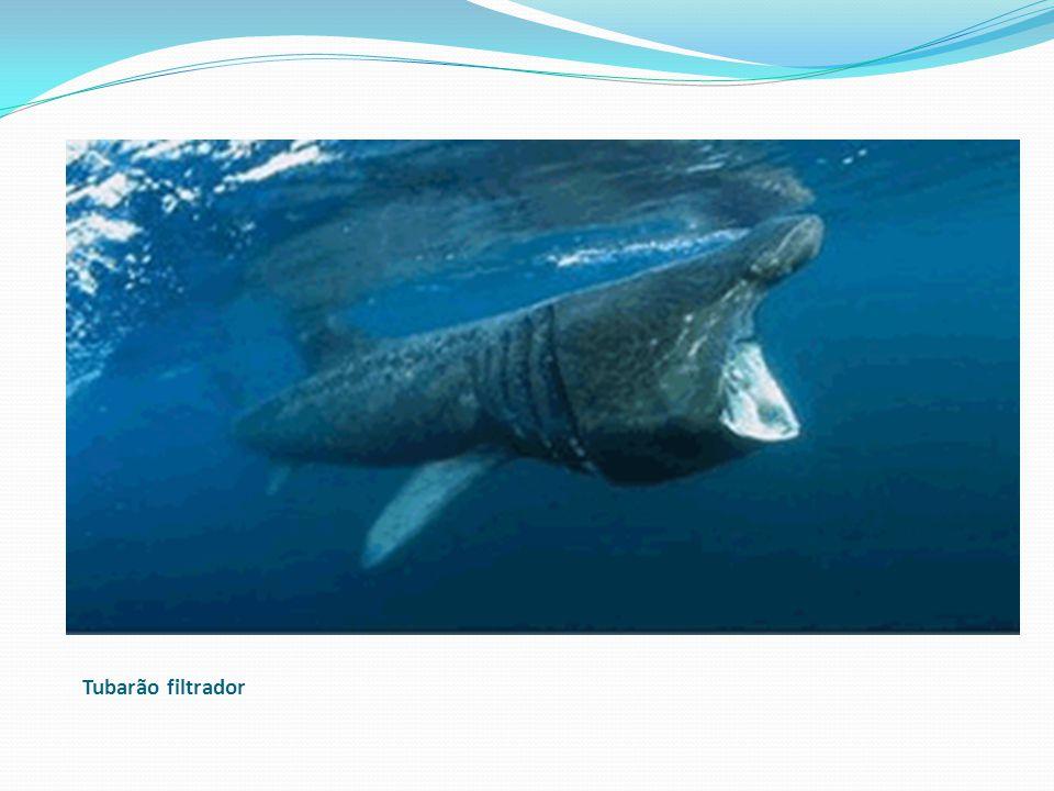 Tubarão filtrador