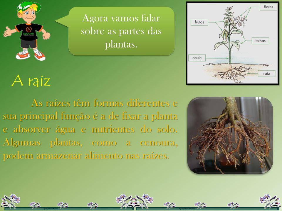 Agora vamos falar sobre as partes das plantas. A raiz As raízes têm formas diferentes e sua principal função é a de fixar a planta e absorver água e n