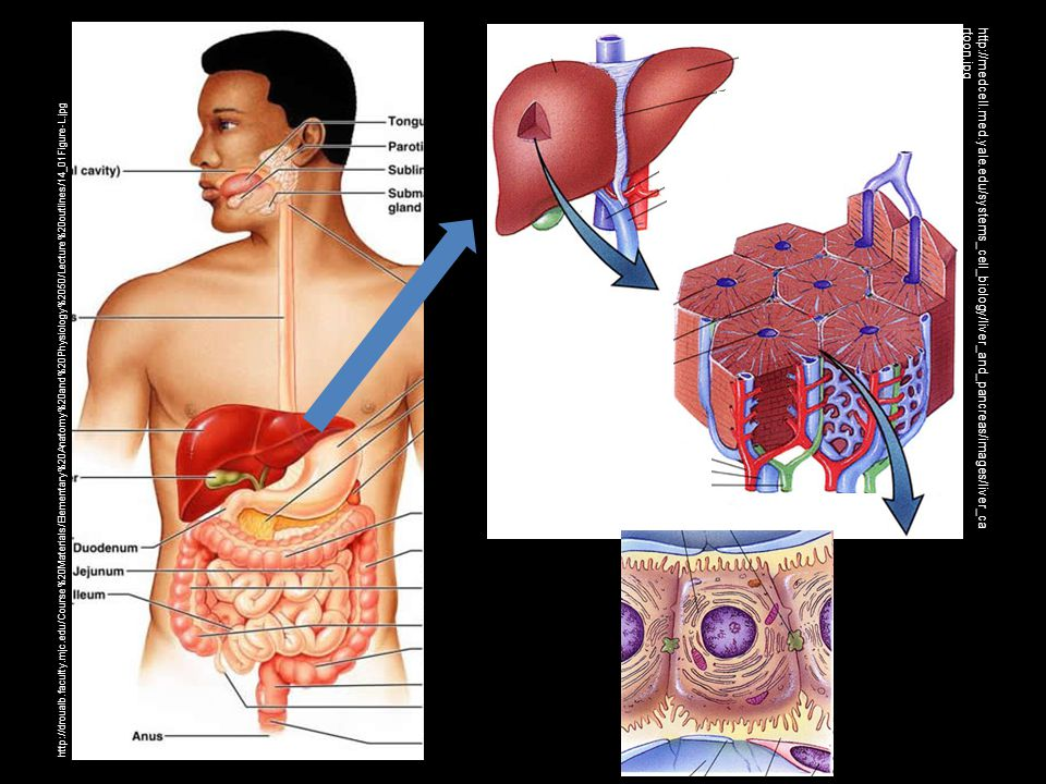 http://droualb.faculty.mjc.edu/Course%20Materials/Elementary%20Anatomy%20and%20Physiology%2050/Lecture%20outlines/14_01Figure-L.jpg http://medcell.med.yale.edu/systems_cell_biology/liver_and_pancreas/images/liver_ca rtoon.jpg