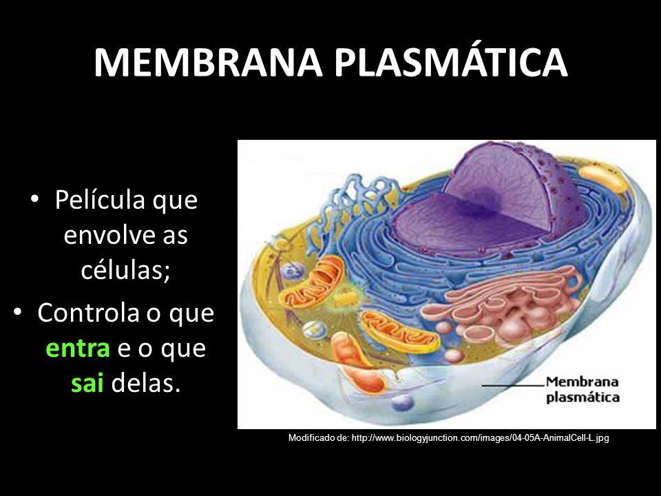 MEMBRANA PLASMÁTICA Película que envolve as células; Controla o que entra e o que sai delas. Modificado de: http://www.biologyjunction.com/images/04-0