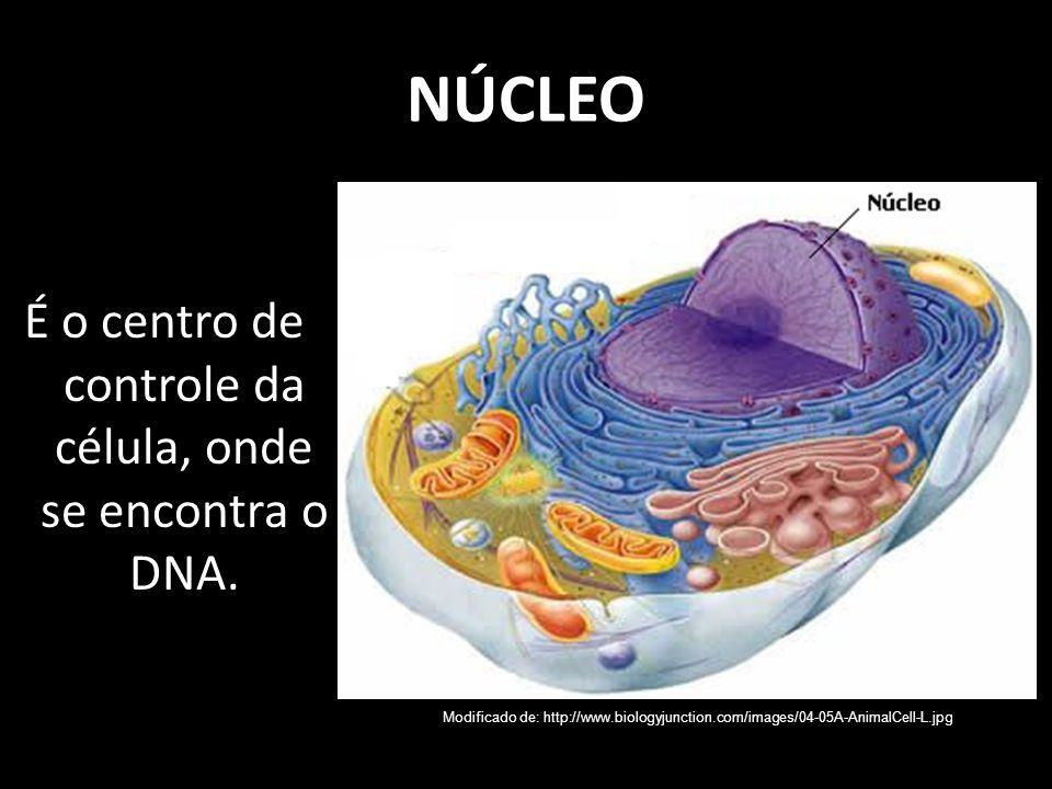 NÚCLEO É o centro de controle da célula, onde se encontra o DNA. Modificado de: http://www.biologyjunction.com/images/04-05A-AnimalCell-L.jpg