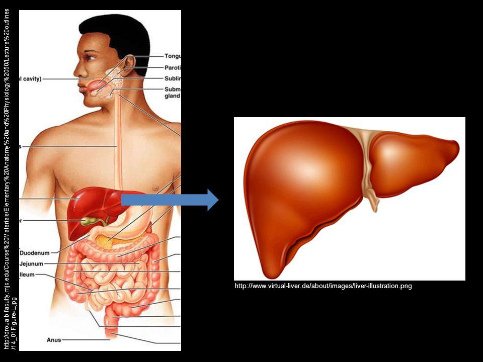 http://www.virtual-liver.de/about/images/liver-illustration.png