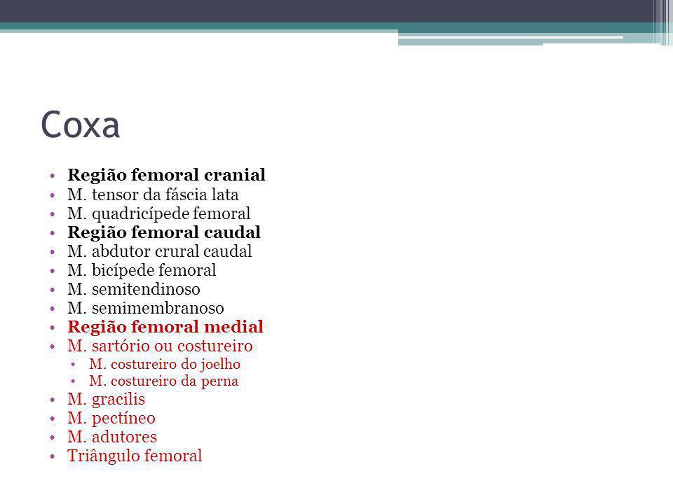 Coxa Região femoral cranial M. tensor da fáscia lata M. quadricípede femoral Região femoral caudal M. abdutor crural caudal M. bicípede femoral M. sem