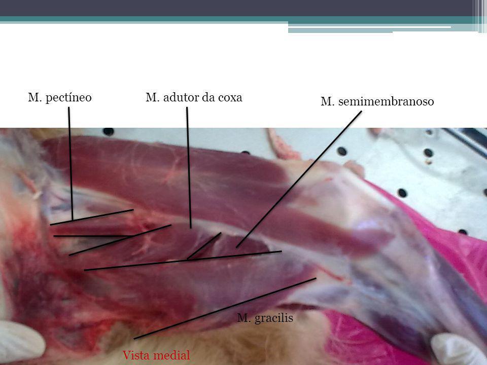 Vista medial M. pectíneo M. gracilis M. adutor da coxa M. semimembranoso