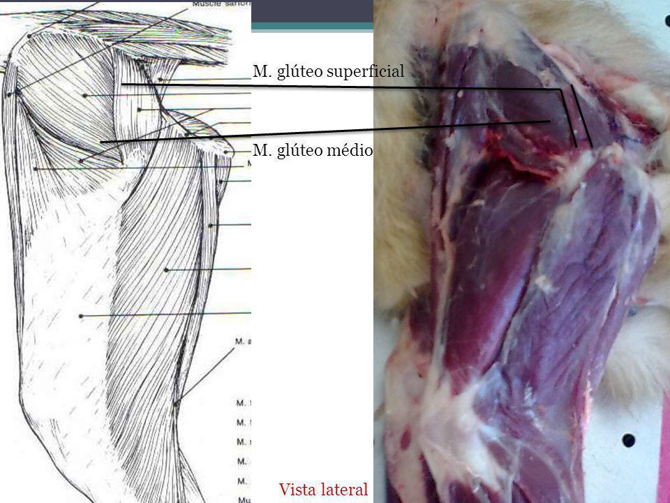 M. glúteo superficial Vista lateral M. glúteo médio