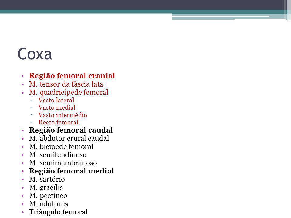 Coxa Região femoral cranial M. tensor da fáscia lata M. quadricípede femoral ▫Vasto lateral ▫Vasto medial ▫Vasto intermédio ▫Recto femoral Região femo