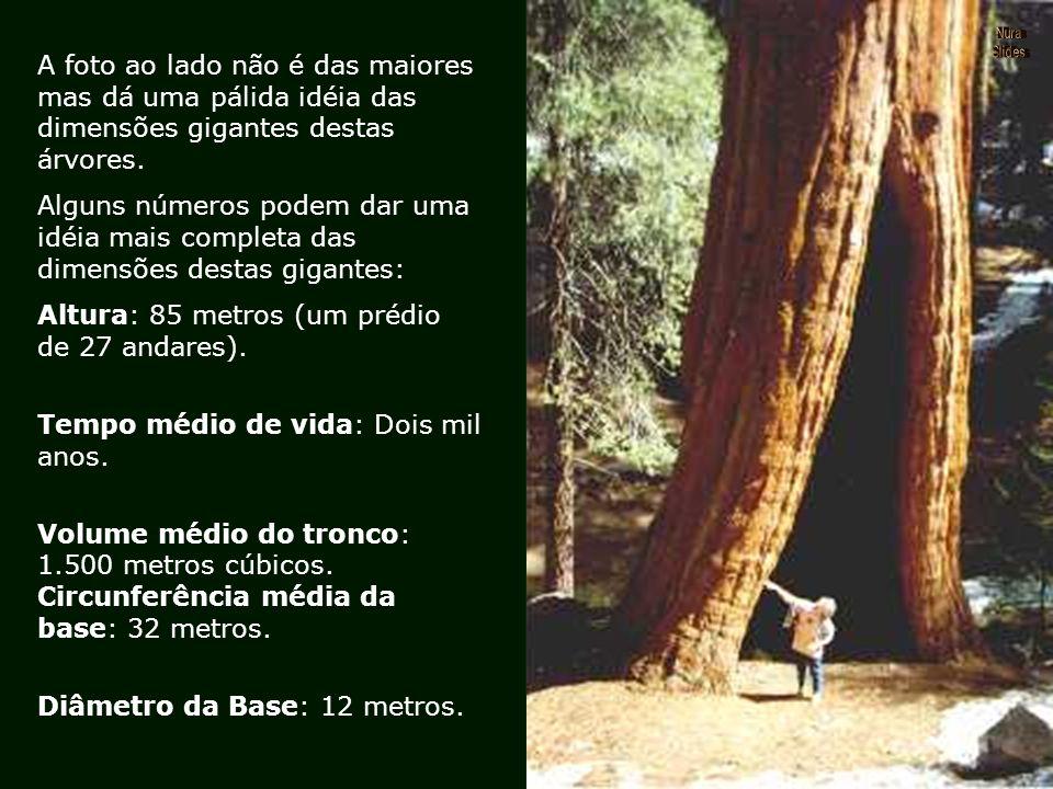 Segundo os botânicos, os fatores que contribuem para a longevidade destas árvores residem principalmente na resistência de sua casca, que às vezes che