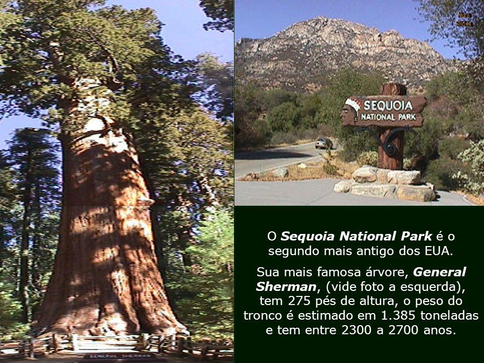 """Outro perigo que as Sequóias correram até os anos 70, foi a moda de construírem """"túneis escavados"""" em seu tronco, o que as deixava debilitadas e contr"""