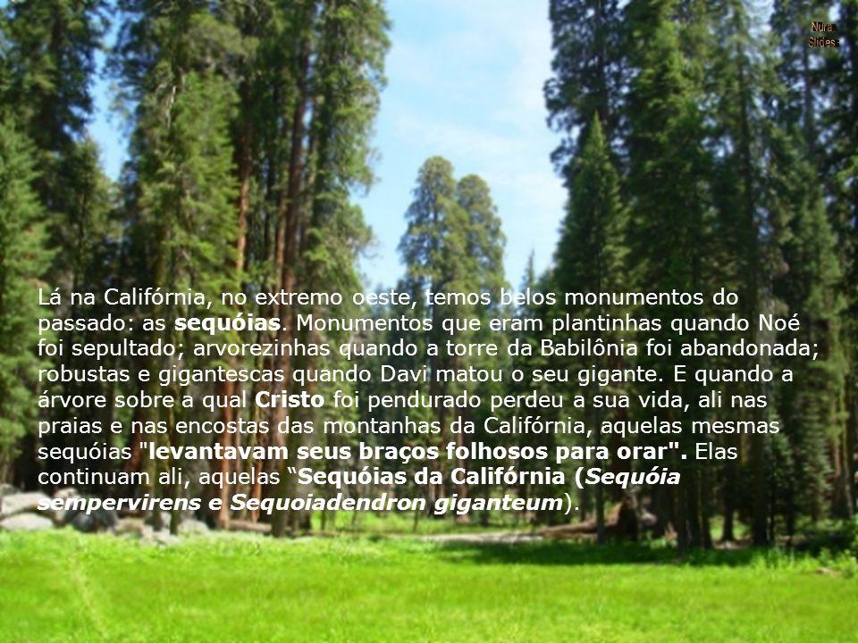 Lá na Califórnia, no extremo oeste, temos belos monumentos do passado: as sequóias.