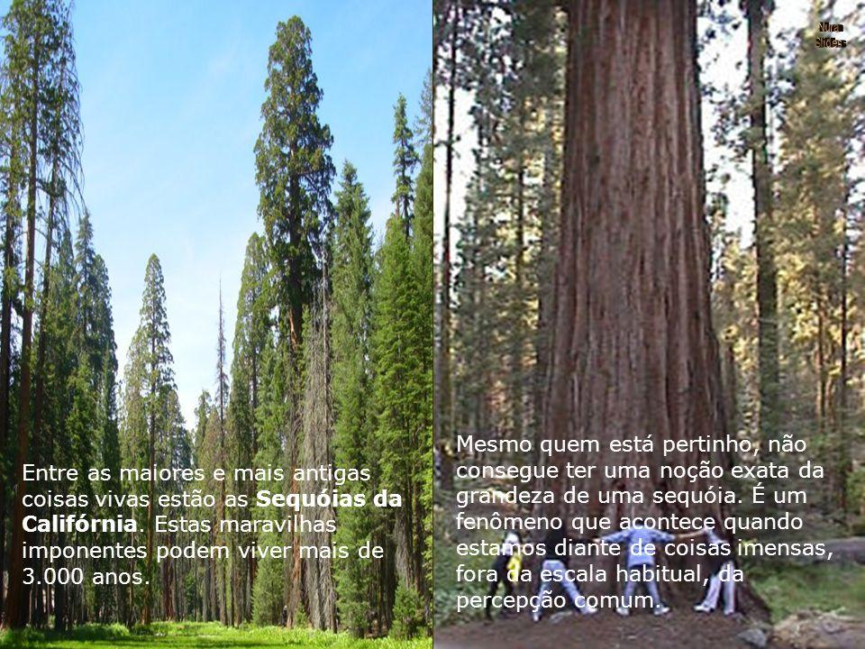 Lá na Califórnia, no extremo oeste, temos belos monumentos do passado: as sequóias. Monumentos que eram plantinhas quando Noé foi sepultado; arvorezin