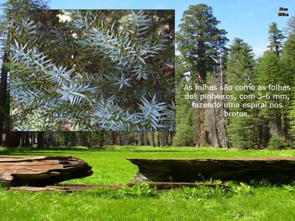 As folhas são como as folhas dos pinheiros, com 3-6 mm, fazendo uma espiral nos brotos.