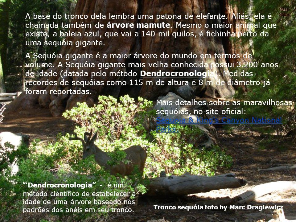 Além de um antigo pinheiro cone-de-cerda, podemos dizer que a sequóia gigante, encontrada apenas na Sierra Nevada da Califórnia, É UMA DAS COISAS MAIS