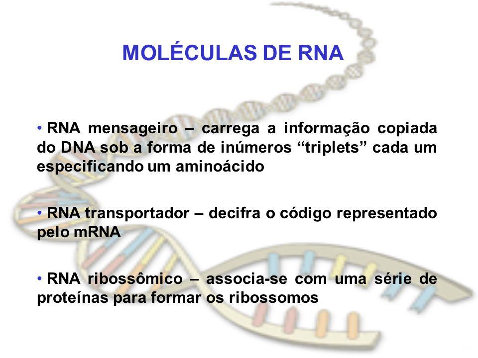 """MOLÉCULAS DE RNA RNA mensageiro – carrega a informação copiada do DNA sob a forma de inúmeros """"triplets"""" cada um especificando um aminoácido RNA trans"""