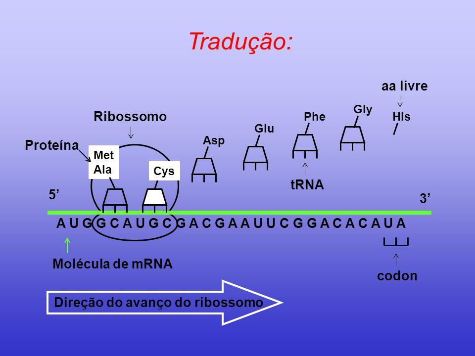 Tradução: Molécula de mRNA A U G G C A U G C G A C G A A U U C G G A C A C A U A Cys Met Ala 5' 3' Asp Glu PheHis Direção do avanço do ribossomo Ribos