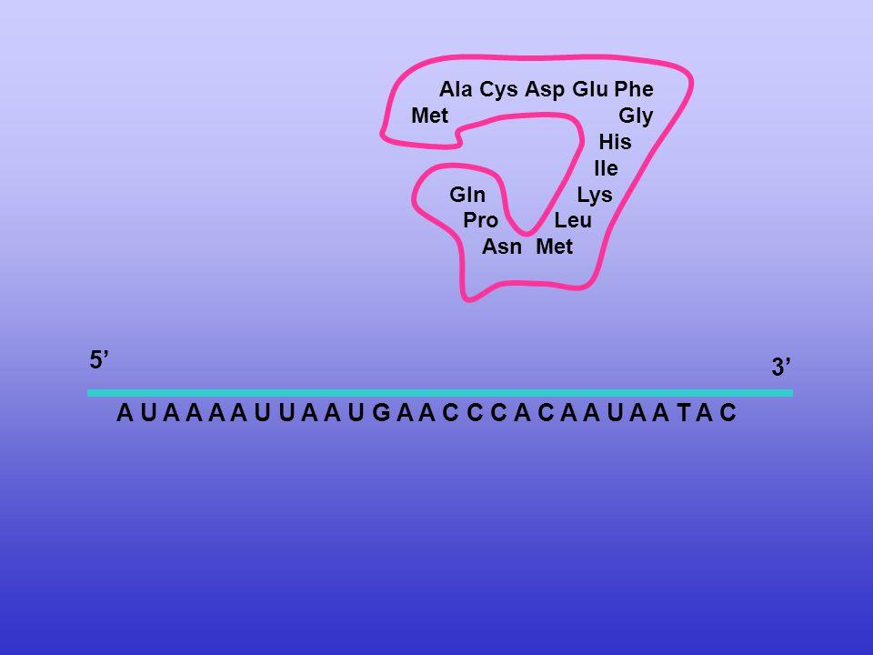A U A A A A U U A A U G A A C C C A C A A U A A T A C Ala Cys Asp Glu Phe Met Gly His Ile Gln Lys Pro Leu Asn Met 5' 3'