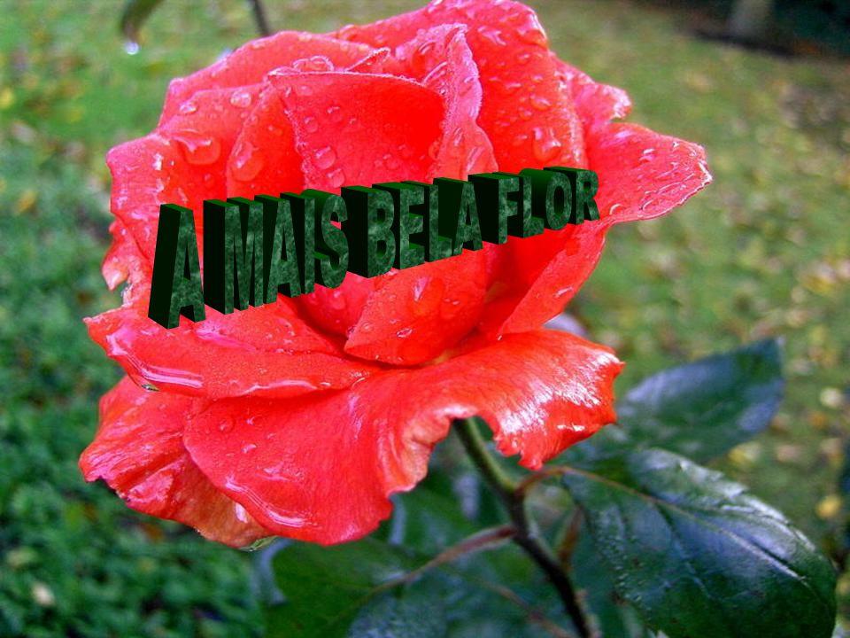 E ainda mergulhado em profundas reflexões, levou aquela feia flor ao nariz e sentiu a fragrância de uma rosa...