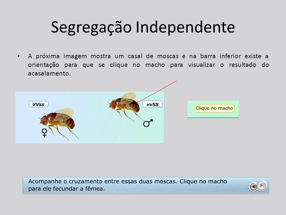 Segregação Independente A próxima imagem mostra um casal de moscas e na barra inferior existe a orientação para que se clique no macho para visualizar o resultado do acasalamento.