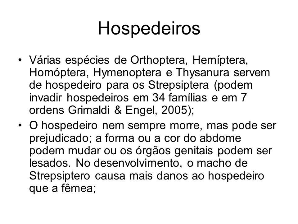Hospedeiros Várias espécies de Orthoptera, Hemíptera, Homóptera, Hymenoptera e Thysanura servem de hospedeiro para os Strepsiptera (podem invadir hosp