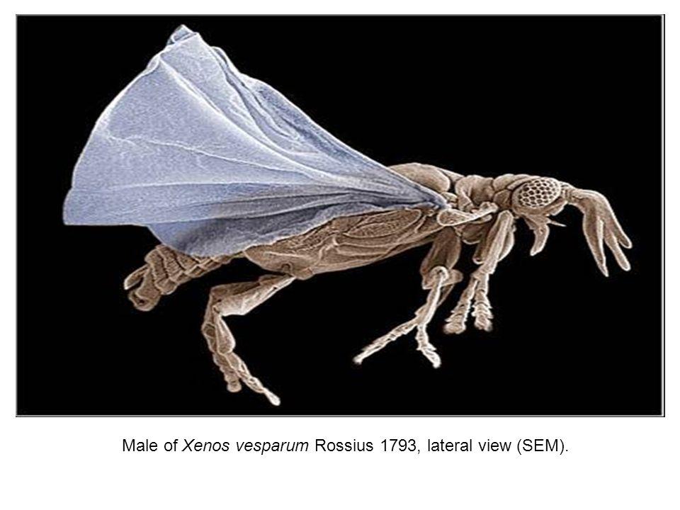 STREPSIPTERA no abdômen de uma abelha hospedeira