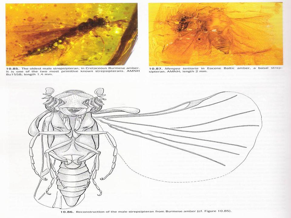 Classificação e Diagnose Alguns pesquisadores têm incluído esta ordem em Coleoptera, como família Stylopidae, devido ao fato de as asas anteriores serem semelhantes a élitros e as veias das asas posteriores serem reduzidas.