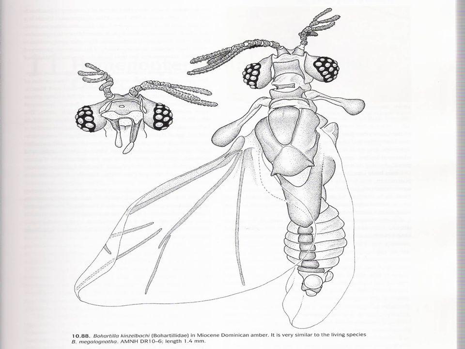 Fêmea A fêmea adulta, nas espécies em que estas são de vida livre, tem cabeça distinta, antenas simples com 4 ou 5 segmentos, peças bucais mastigadoras e olhos compostos; Nas espécies em que as fêmeas adultas são parasitas, estas não possuem olhos, antenas e pernas, a segmentação do corpo é indistinta e a cabeça e o tórax fundidos; As larvas são chamadas de Triungulinos e possuem olhos e pernas bem desenvolvidas