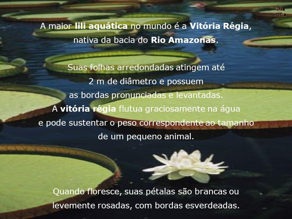A maior lili aquática no mundo é a Vitória Régia, nativa da bacia do Rio Amazonas.