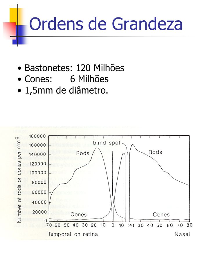 Ordens de Grandeza Bastonetes: 120 Milhões Cones: 6 Milhões 1,5mm de diâmetro.