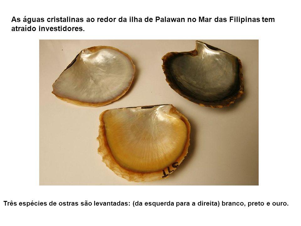 Conchas de ouro pérola... a exploração pelo homem!