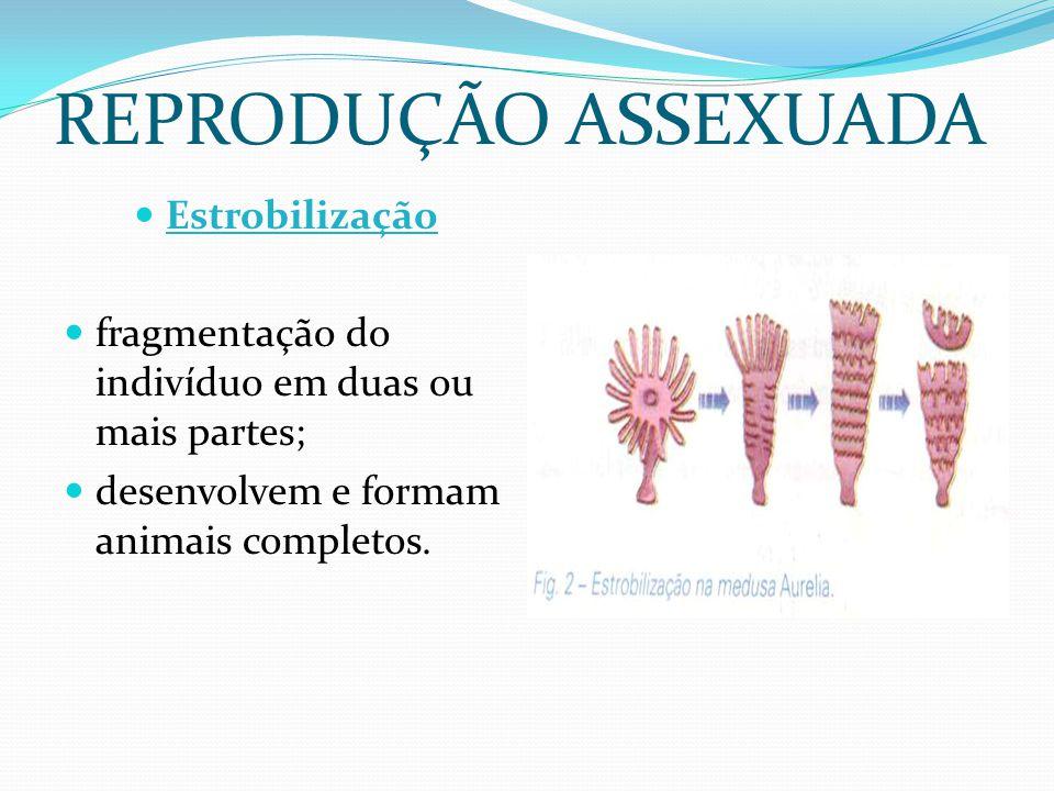 REPRODUÇÃO ASSEXUADA Estrobilização fragmentação do indivíduo em duas ou mais partes; desenvolvem e formam animais completos.