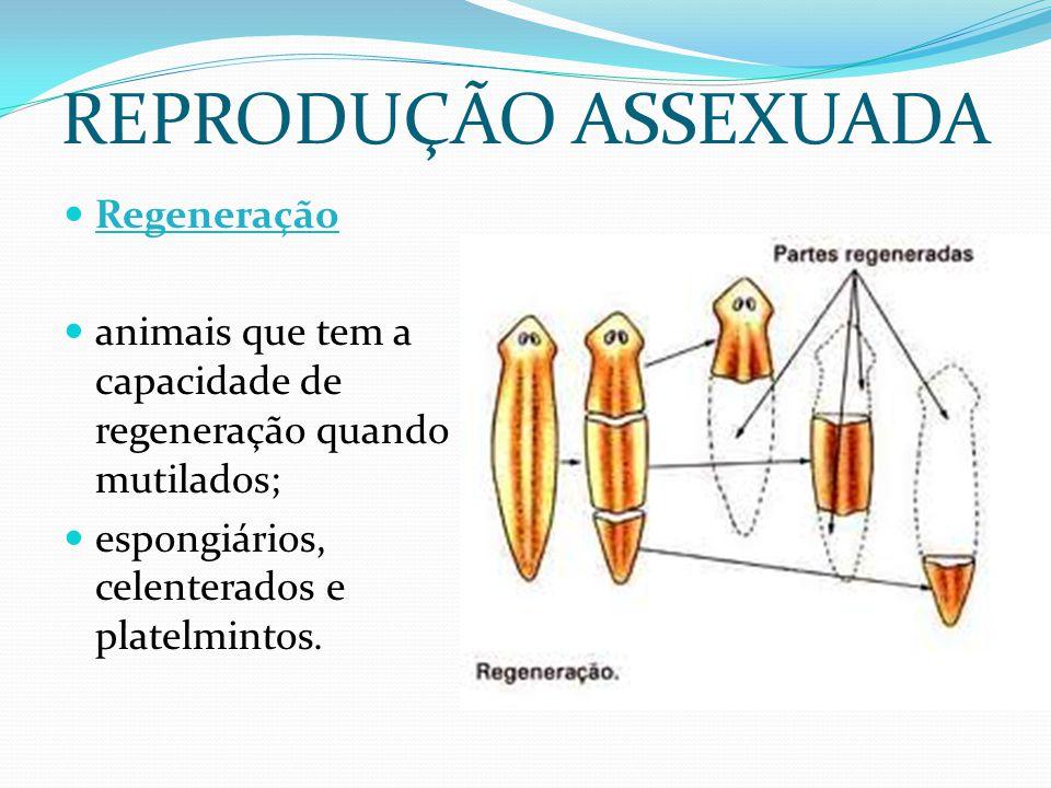 REPRODUÇÃO ASSEXUADA Regeneração animais que tem a capacidade de regeneração quando mutilados; espongiários, celenterados e platelmintos.